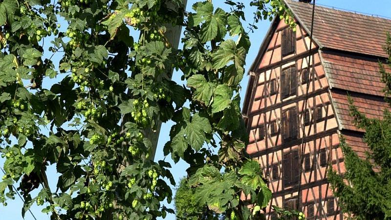 Spalt war schon immer eine Hopfenmetropole und ist auch heute noch geprägt von seinen imposanten Hopfenhäusern. Sie fallen meist durch ihreSteilsatteldächer und mächtigen Fachwerkgiebel mit bis zu sechs Dachgeschossen auf. Denn in den Dächern wurde vielPlatz für das Trocknen und Lagern des Hopfens gebraucht. Ein besonders eindrucksvolles Beispiel ist das Hopfengut Mühlreisig von 1746, das an der Staatsstraße Richtung Wassermungenau thront. Es gilt als dasschönste Hopfenbauernhaus Deutschlands.