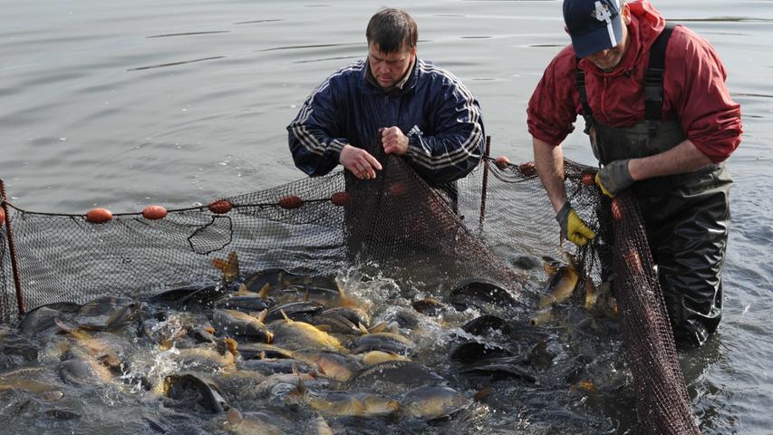 In der Region hat die Karpfenfischerei vor allem Tradition im Aischgrund...