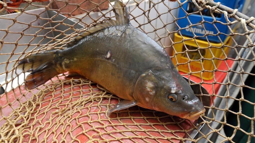 Nach drei Jahren sind die kleinen Fische zu einem stattlichen Karpfen herangewachsen, der dann auf unserem Teller landet.
