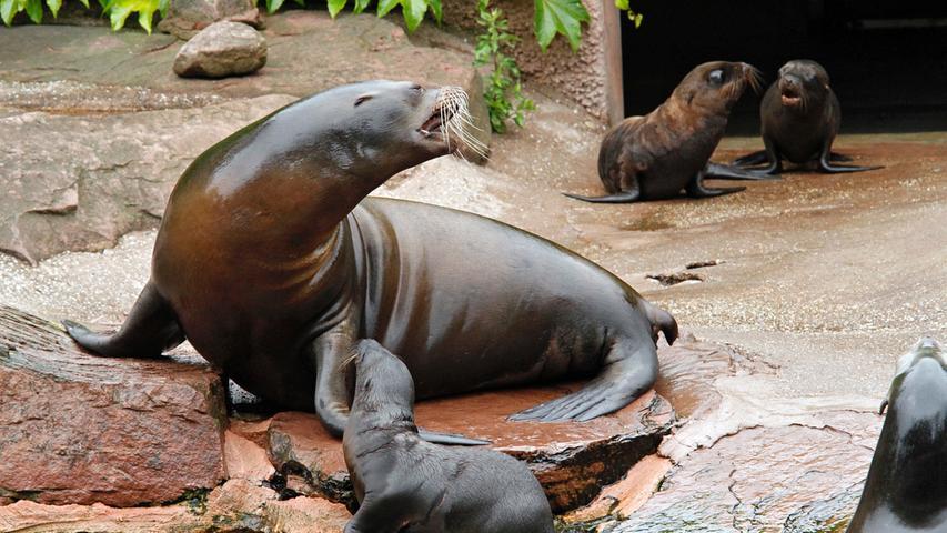 Auf diesen Bildern haben sie zum ersten Mal geplanscht: Die drei Jungtiere bei den Kalifornischen Seelöwen sind im Sommer 2011 auf die Welt gekommen. Während des ersten Ausflugs nach draußen brüllten sie, badeten sich und suchten die Nähe zu ihrer Mama.