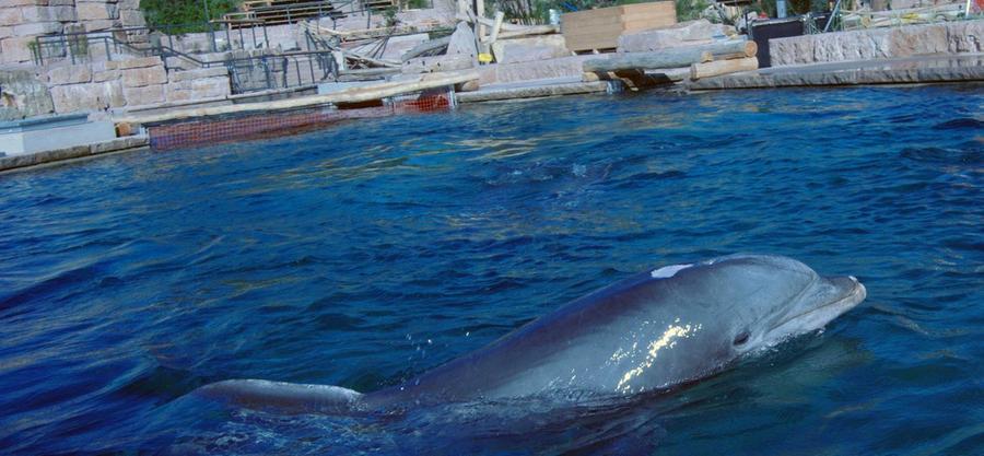 Nachdem Seelöwen und -kühe bereits ein paar Tage zuvor umgesiedelt wurden, dreht nun auch der Tümmler Moby seine Bahnen im neuen Becken. Zwei Wochen blieben dem Delfin, um sich bis zur Eröffnung am 30. Juli hier einzugewöhnen.