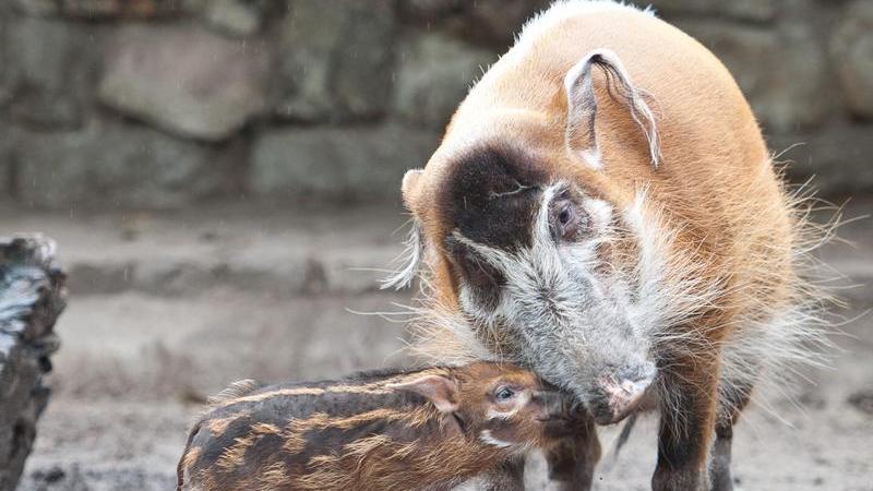 Pinselohrschweine, die auch Flussschweine genannt werden, gehören zu den farbenprächtigsten Säugetieren der Welt. Im Nürnberger Tiergarten kann nur noch das letzte Pinselohrschwein Heidibestaunt werden.