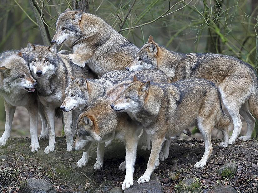 Anders als auf unserem Bild (es zeigt den Umweltpark Güstrow) werden nur drei Wölfe in den bei Forchheim gelegenen Wildpark Hundshaupten ziehen. Sie sollen dort ein neues Rudel bilden.