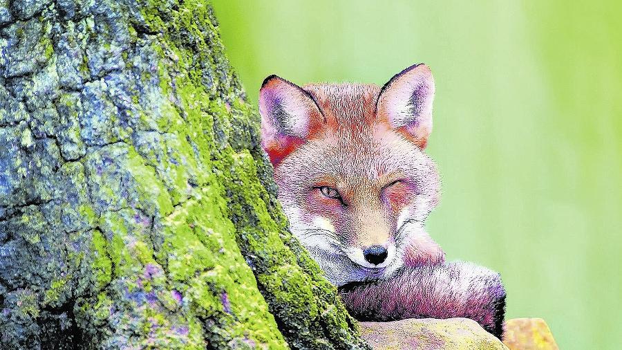 Der Rotfuchs scheint uns schelmisch zuzuzwinkern. Ihm eilt der Ruf besonderer Pfiffigkeit voraus. Tatsächlich hat sich der Fuchs als einziges größeres Raubtier in unseren Wäldern trotz aller Nachstellungen behaupten können.
