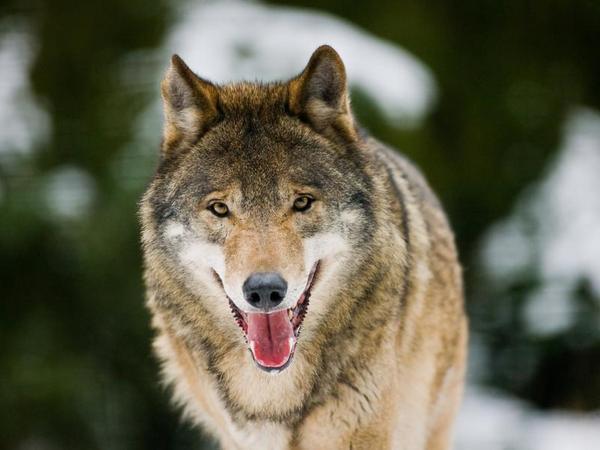 100 bis 120 Wölfe streifen nach Angaben von Experten derzeit durch Deutschland.