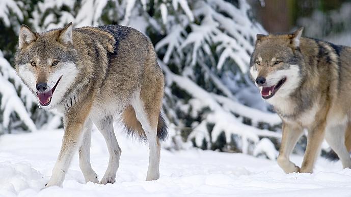 In Deutschland sind Wölfe in freier Wildbahn   noch ein seltenes Bild. Ihre Zahl wächst aber so rasch, dass sich Bauern und Jäger auf sie einstellen müssen.