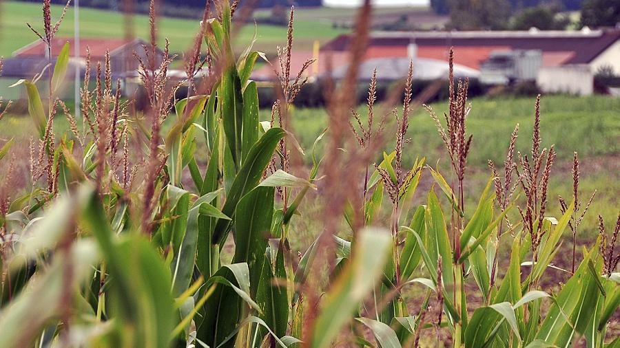 Der Bayerische Bauernverband wehrt sich gegen den Anbau gentechnisch veränderten Saatguts.