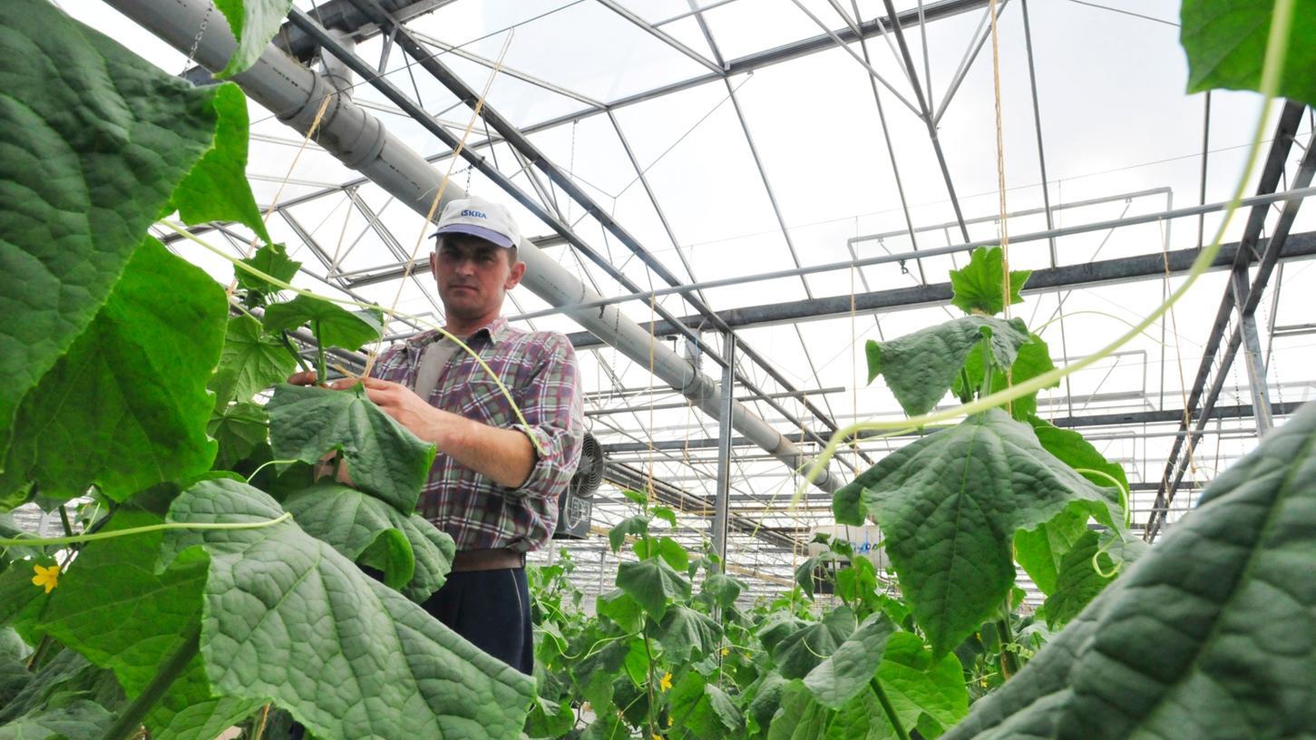 In den Gewächshäusern im Knoblauchsland wächst jede Menge Gemüse.