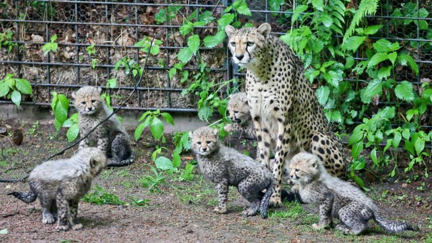 Pünktlich zum 100. Geburtstag des Nürnberger Tiergartens hatte Gepardenmutter Kelly die Tierpark-Familie um fünf neue Raubtierbabys erweitert. Die Brüder Thabo, Kalungu und Kigali und ihre Schwestern Kiara und Kya waren bereits am 21. März 2012 zur Welt gekommen. Etwa zwei Monate später waren die Kleinen alt genug und gut vorbereitet, um ihr Gehege hinter den Kulissen gegen das große Gepardengehege zu tauschen.