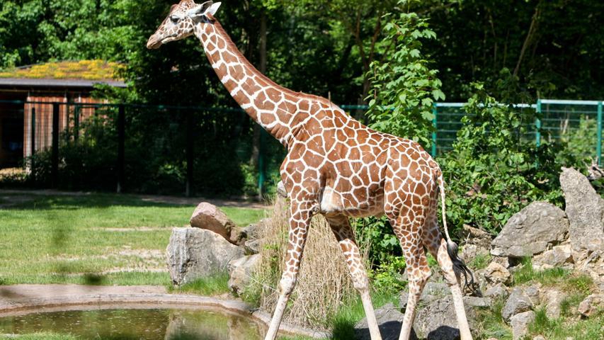 Im Alter von 10 Jahren wurde der Giraffenbulle Leon am 22. März 2019 tot in seinem Stall aufgefunden. Schon seit Jahren hatte das Tier unterHuf- und Verdauungsproblemen gelitten, in der jüngeren Vergangenheit kamen außerdem noch Bewegungsstörungen und Hautveränderungen hinzu.
