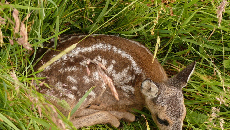 Ein Rehkitz im Gras. Mähmaschinen sind für die Tiere eine tödliche Gefahr.