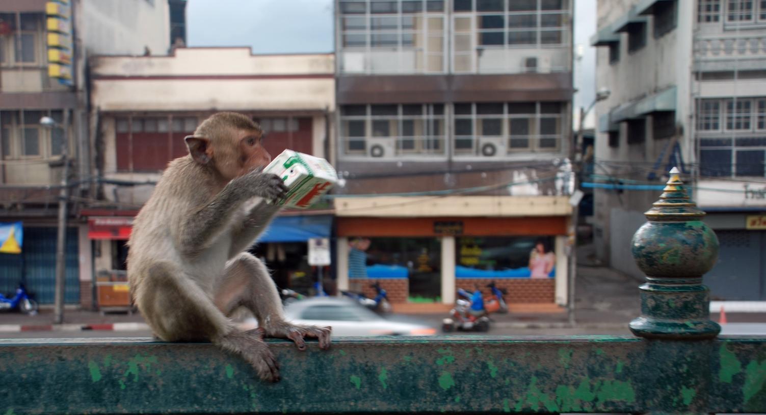 Gerade in malaysischen Städten sind Makaken weit verbreitetet und dringen immer wieder in Häuser ein.