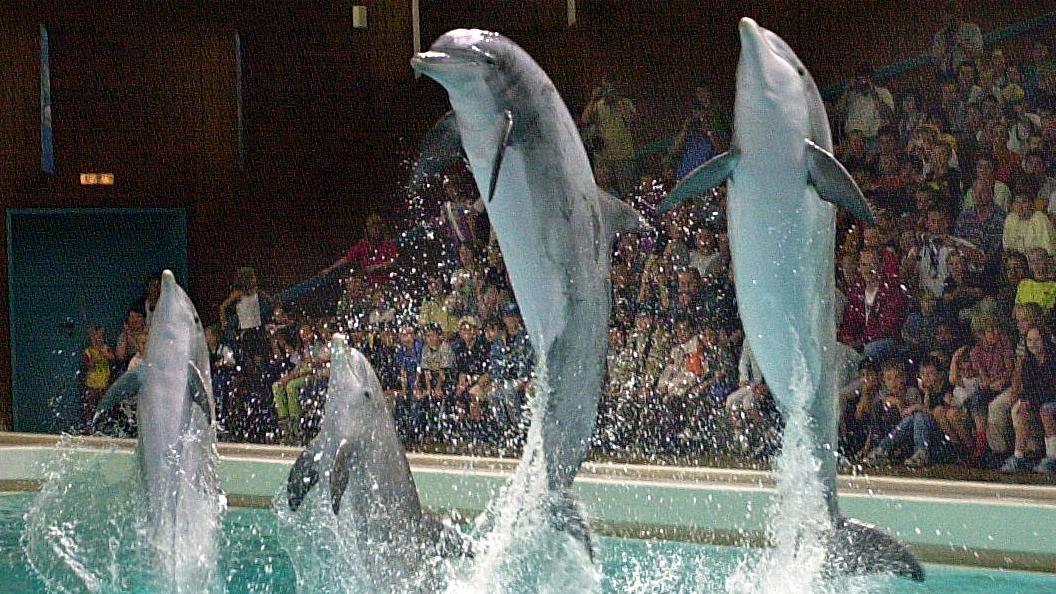 Delfine bei einer Show im Nürnberger Delfinarium - Tiergartendirektor Dag Encke betont den guten Zustand der Tiere.