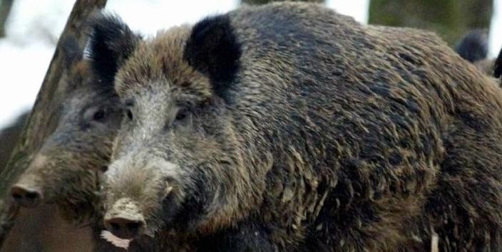Sie sind äußerst schnell, können fest zubeißen, und wenn sie Junge haben sind sie oft aggressiv: Die Zahl der Wildschweine hat in den letzten Jahren zugenommen. Sogar in die fränkischen Weinberge wagen sie sich schon hinein. Bauern fordern daher ihren Abschuss.