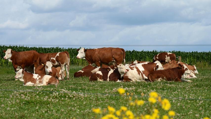 Wandern? Rasten! Fast mitleidig betrachten die Kühe den Wanderer.