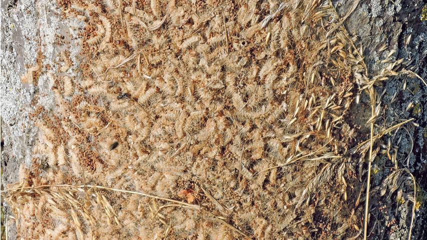 So sehen die Nester mit Raupenhüllen aus. Unlängst musste das Bayerische Rote Kreuz bei