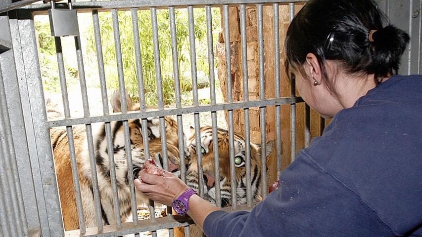 Nach nur einem Jahr kehrte Tiger Claudius im Mai in seine Heimat Straubing zurück  ,die in der Zwischenzeit umgebaut wurde. Ein tragischer Zwischenfall überschattete allerdings die Zeit des Sibirischen Tigers in Nürnberg: Sein Zwillingsbruder Cornelius verstarb im Oktober 2012 überraschend.