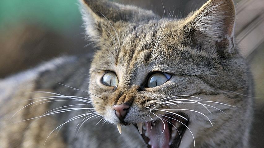 Sie sind schwer zu finden und oft werden sie mit Hauskatzen verwechselt: Wildkatzen. Im Reichswald ist die Wildkatze bereits wieder heimisch. Auch der Veldensteiner Forst und die Wälder der Fränkischen Schweiz würden sich als Jagdgebiete anbieten. Doch noch lassen Katzen auf sich warten. Experten vermuten, dass fehlende Brücken und zerschnittene Wälder ihren Wanderweg erschweren.