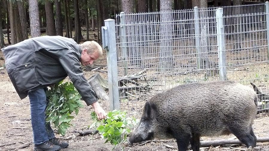 """Revierförster Hubert Schorer mit Wildschwein """"Eleonora"""" im Gehege an der Kurt-Schumacher-Straße: Das Schwarzwild wird dort auch von den Besuchern verwöhnt."""