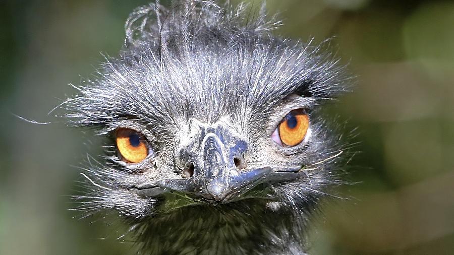 Die australischen Emus können bis zu 1,90 Meter hoch werden.