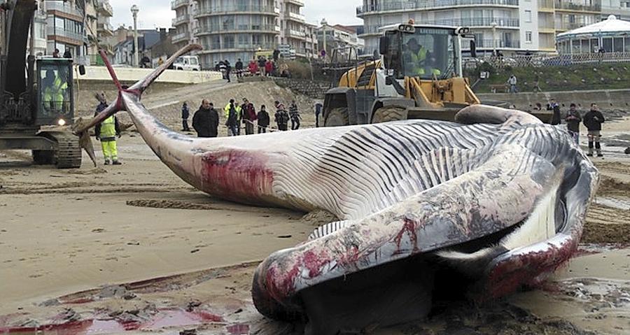 Ein toter Finnwal strandete vor Les Sables.