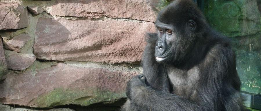 Nach anfänglichen Schwierigkeiten mit Hakuna Matata, die daraufhin nach Budapest umzog, lebte sich Gorilladame Louma im Tiergarten gut ein.  Silberrücken Fritz und die Weibchen Lena und Bianka hatten den Neuling problemlos aufgenommen. Louma war am 30. Januar aus dem Leipziger Zoo nach Nürnberg gekommen.