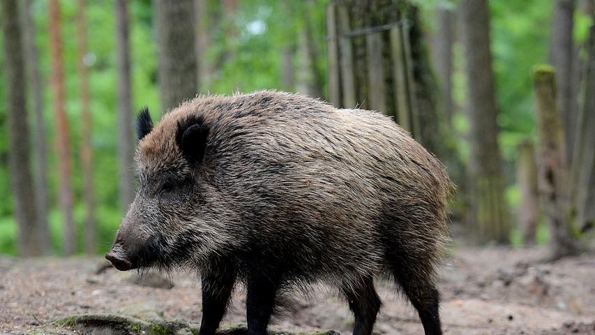 Ein Anziehungspunkt für Spaziergänger, Jogger und Familien: Das Wildschweingehege im Fürther Stadtwald ist ein saustarker Tipp. Ganz egal, ob man die Schweine füttert oder die Frischlinge bei ihren ersten Schritten beobachtet - am Gehegezaun wird es nie langweilig.
