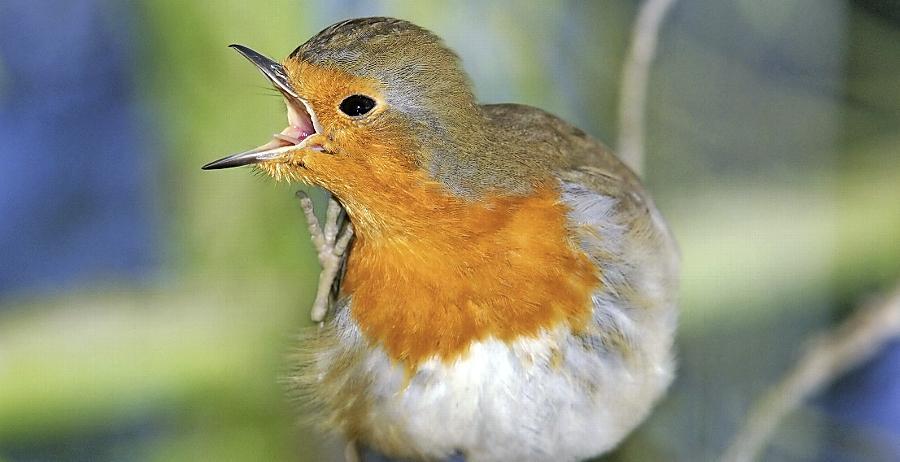Von Rotkehlchen bis Wanderfalke: Diese Vögel tummeln sich in Frankens Gärten