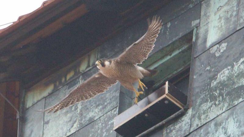 Ein Wanderfalke fliegt los: An der Nürnberger Burg kann man per Webcam verfolgen, wie der Wanderfalken-Nachwuchs groß gezogen wird.