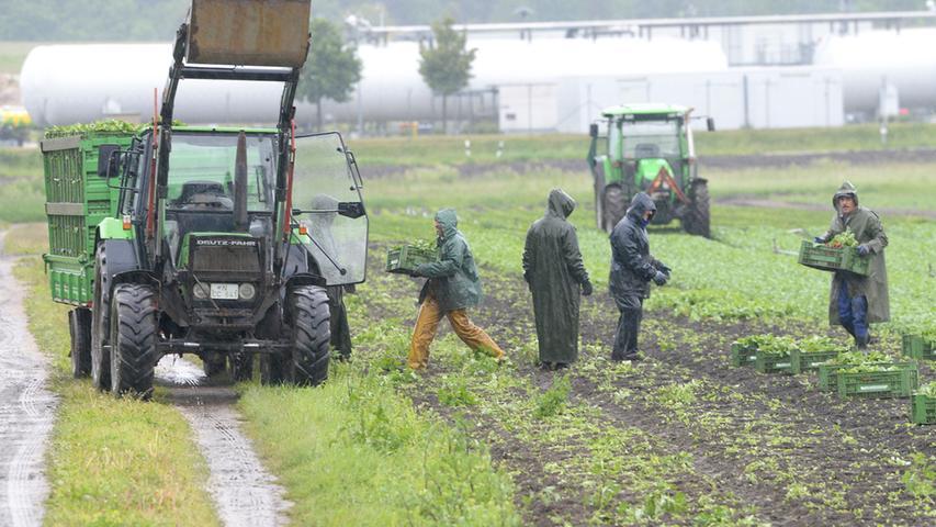 Rettet die Radieschen! Seit Tagen regnet es im Knoblauchsland.