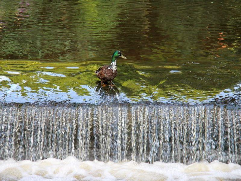 Soll ich springen oder nicht? Diese Ente an der Wöhrder Wiese entschied sich dann lieber für elegantes Herumstolzieren.