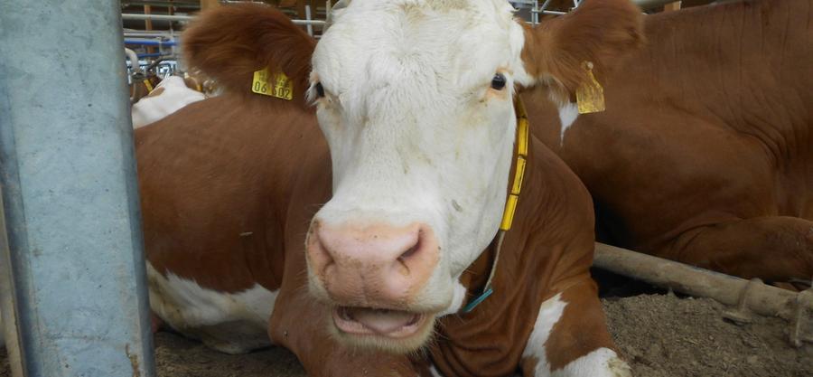 Wellnes, das bedeutet auch Relaxen - und zwar wann und (fast) wo immer Kuh will.