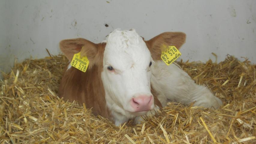 Beim Tag der offenen Tür am Sonntag können die Besucher die Kühe und die Einrichtung des Wellness-Kuhstalls hautnah erleben.