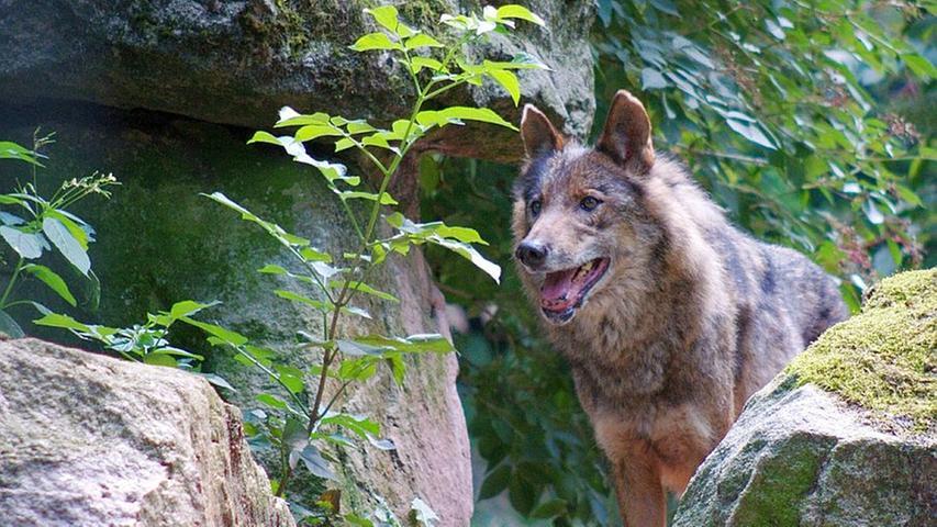 Im Alter von 14 Jahren musste im Juli eine Iberische Wölfin trotz medizinischer Langzeitbehandlung eingeschläfert werden.  Das Tier zeigte bereits ein Jahr zuvor altersbedingte Schwächen wie beispielsweise Lahmheit und hinterlässt keine Jungtiere.