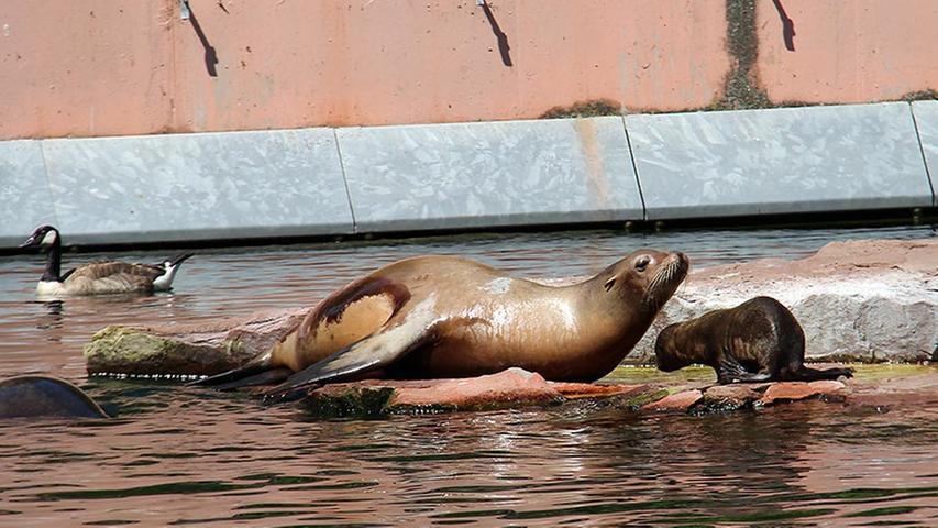 Das kalifornische Seelöwenweibchen Ginger brachte am 4. Juni die kleine Gania zur Welt. Knapp drei Wochen später folgte Hannah, Tochter von Robbendame Holly. Gemeinsamer Vater der beiden Jungtiere ist Scott, der sich an die doppelte Vaterschaft erst einmal gewöhnen musste.