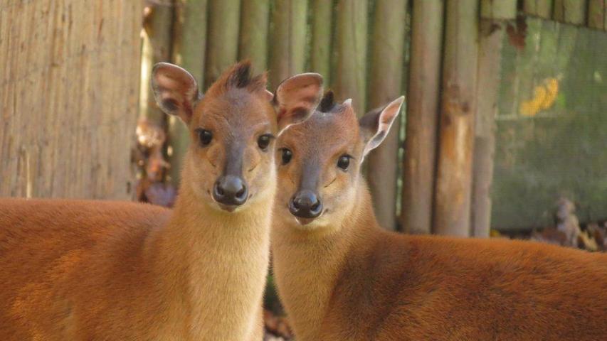 Rotducker sind kleine Antilopen. Um möglichst wenig Konkurrenz zu haben, ziehen sie meist als Einzelgänger umher.Südlich von Durban (Ostafrika) war der Rotducker ausgestorben, wurde inzwischen aber wieder in einigen Gegenden neu angesiedelt.