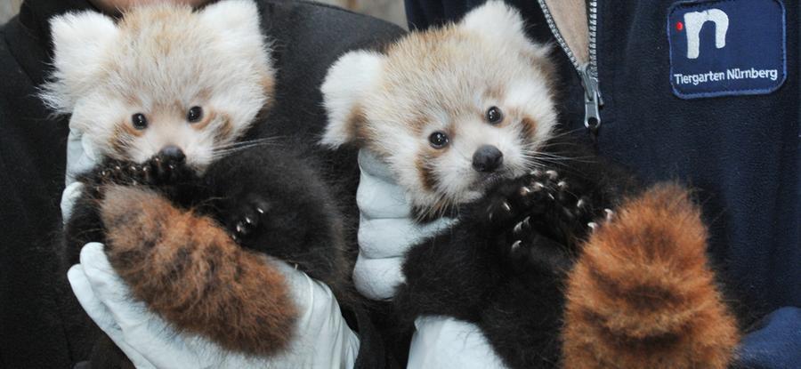 Über Zwillinge durfte sich Pandamutter Patna im Juli freuen: Ein männliches und ein weibliches (links) Panda-Baby kamen zur Welt, erstmals bei den Kleinen Pandas. Nach den Untersuchungen ging es für die flauschigen Pflanzenfresser zunächst zurück in die Box, ehe sie nach drei Monaten nach und nach ihre Gehege erkundeten. Wo die Reise für die Kleinen später hingehen wird, soll 2014 entschieden werden.