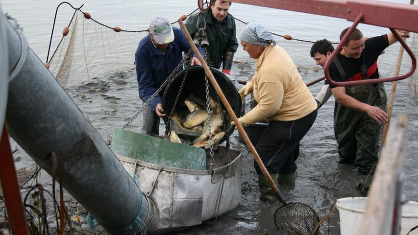 Gaumenfreuden: Karpfenfischen in Höchstadt
