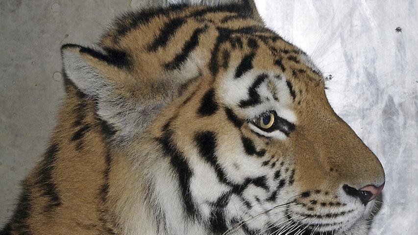 Der Sibirische Tiger Samur gesellte sich im November zu Tigerdame Katinka ins Raubtiergehege  und soll für Nachwuchs sorgen. Das Zooerhaltungsprogramm hatte das künftige Zuchtpaar für den Tiergarten Nürnberg ausgewählt.