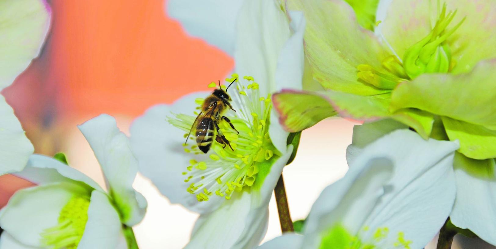 Der Frühling im Winter lockt bereits die ersten Bienen in die Gärten. Dieses Foto entstand vergangene Woche. Doch der Schein trügt: Die Gefährdung für Bienen wächst.