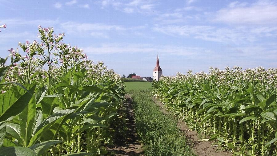 Ein Bild aus der Vergangenheit mit Symbolwert: Früher spielte der Tabakanbau in unserer Gegend eine große Rolle. Hier öffnet sich der Blick durch Tabakpflanzen auf die Leerstetter Kirche.