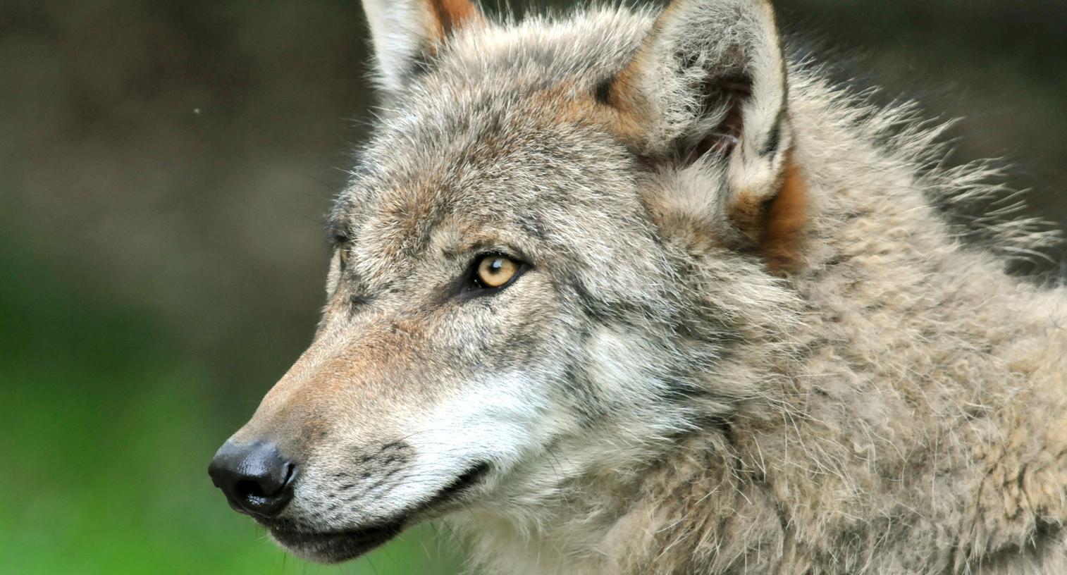 Der Wolf war zentrales Thema der Plecher Marktgemeinderatssitzung am Montag.