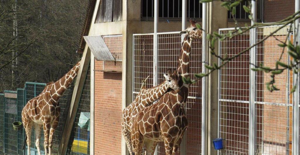 Der Tiergartenlauf am 3. Juni soll am Giraffengehege starten.