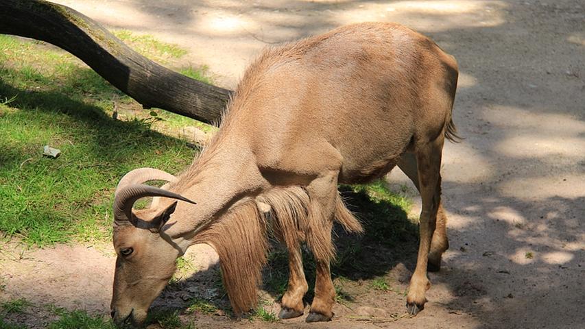 In der Sahara werden Mähnenspringer von jeher von den Einheimischengejagt, da sie wichtige Lieferanten von Fleisch, Fellen, Leder und Sehnen sind. Durch die Jagd sind die Bestandszahlen in den letzten Jahrzehnten drastisch zurückgegangen, weshalb die Art als gefährdetgeführt wird.