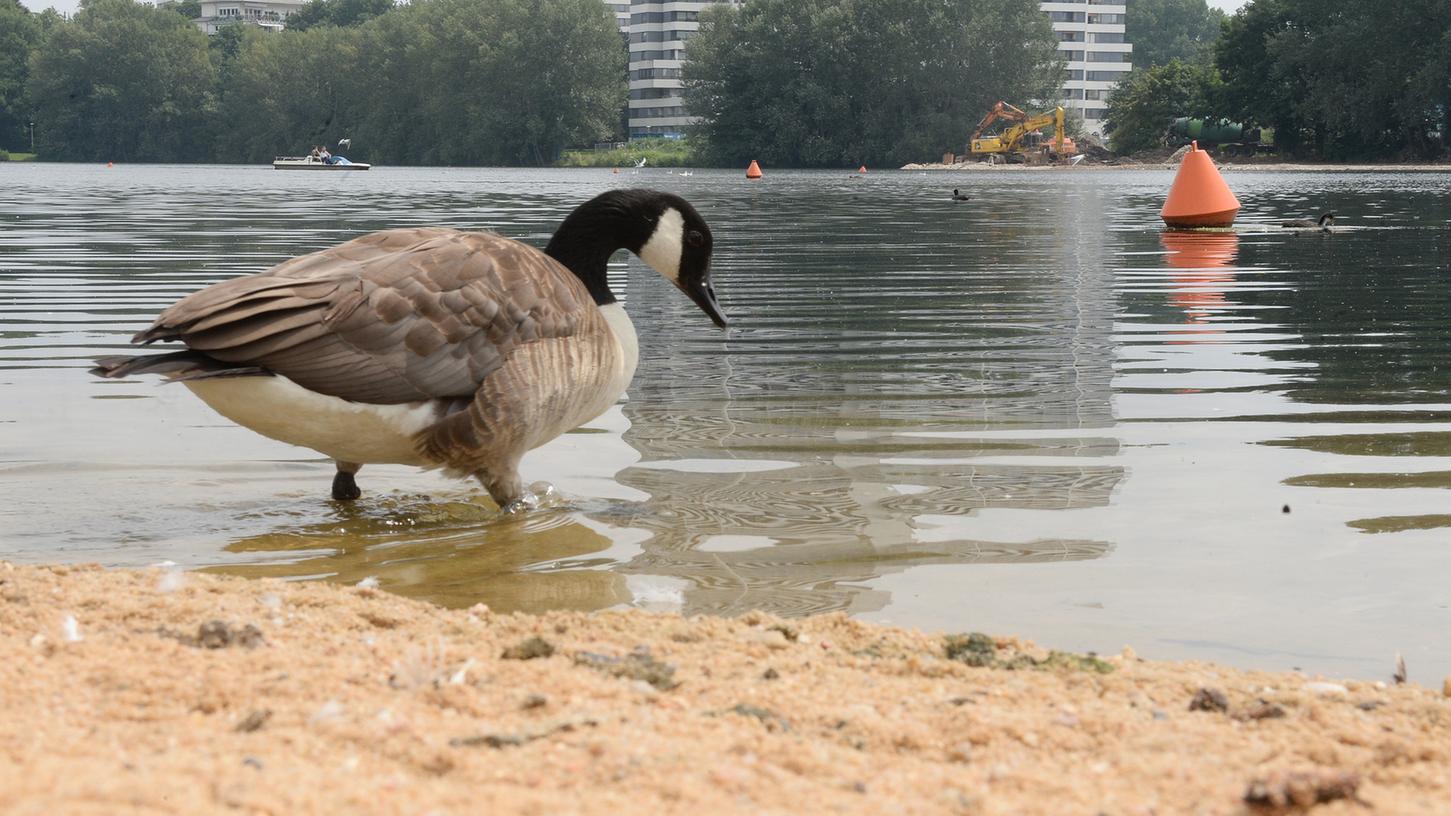 Strandfeeling gibt's derzeit am Wöhrder See nicht. Enten nehmen das Gebiet in Beschlag.