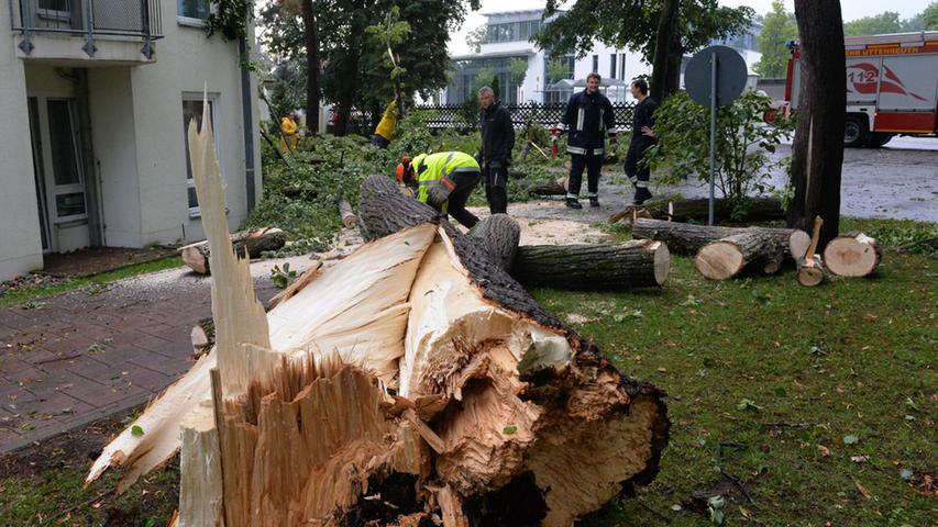 ...wurde dieser mächtige Baum umgeknickt.