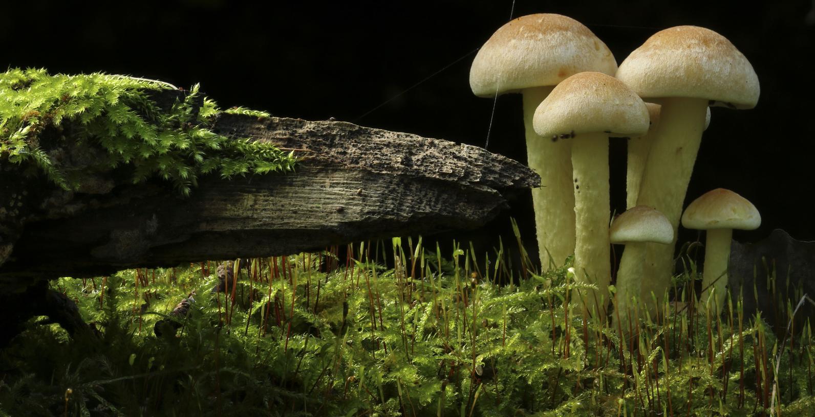 Die Spätfolgen des Super-Gau sind zum Teil heute noch präsent: Pilze aus Garmisch-Patenkirchen weisen radioaktive Werte auf.