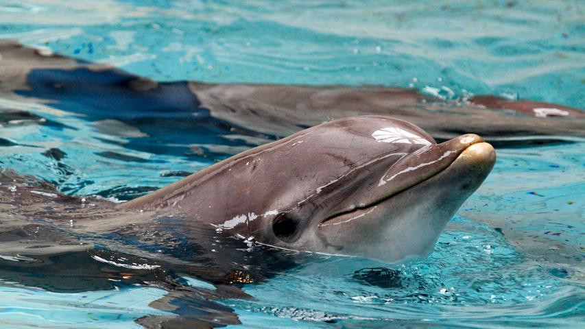 LOKALES FOTO: Eduard Weigert DATUM: 19.9.14..Vorbereitungen für die  Delfingeburt Tiergarten Delfin