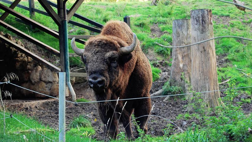 Ebenso wie sein amerikanischer Verwandter, der Bison, lebt der Wisent, der früher in ganz Europa verbreitet war, heute nur noch in Reservaten.