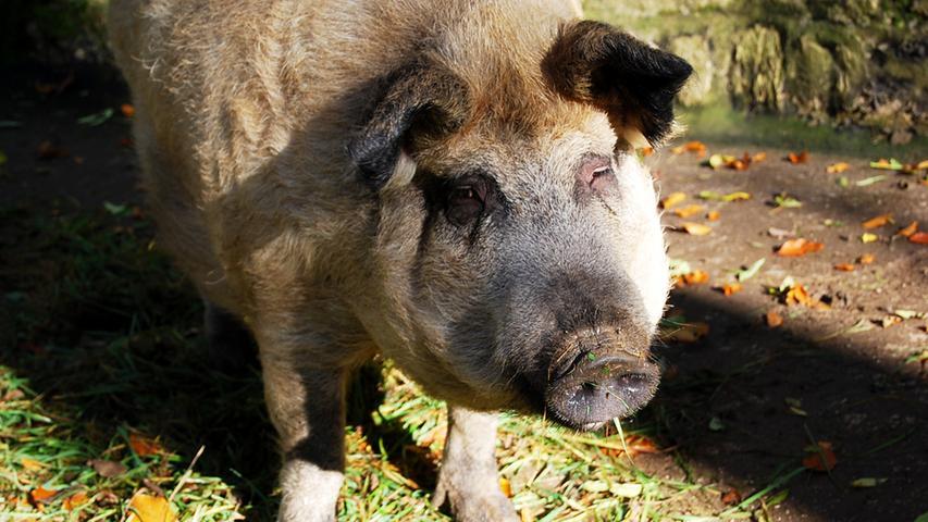 ...wird durch die schelmische Freundlichkeit eines Wollschweins wieder Wett gemacht.
